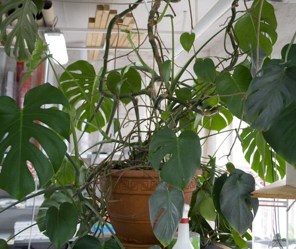 Fabelhaft Monstera-Kummer - Pflanzenkrankheiten & Schädlinge - GREEN24 Hilfe @GL_26
